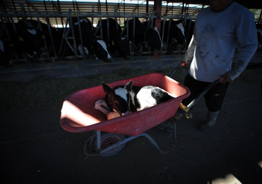 A newborn calf is carted away from its mother to become veal just minutes after birth